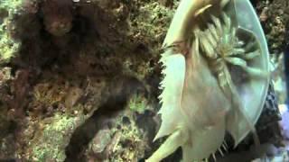 Limulo: un fossile vivente - Limulus: a living fossil