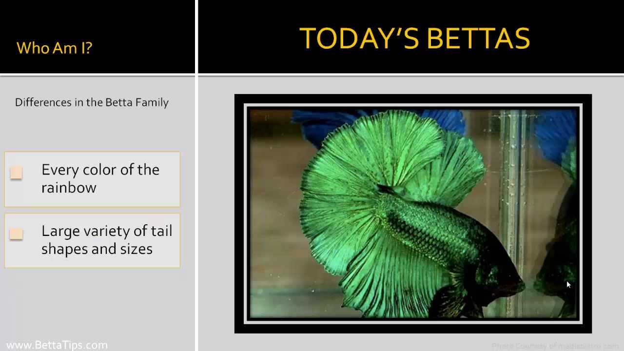 Betta Types - The Many Different Stunning Betta Colors and Fin Types ...