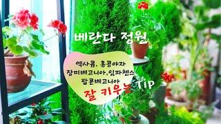 6월의 베란다 정원/ 엑사쿰, 홍콩야자, 장미베고니아,…