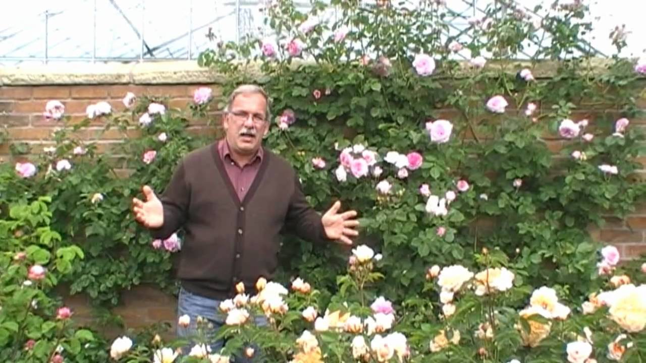 die englische kletterrose james galway youtube. Black Bedroom Furniture Sets. Home Design Ideas