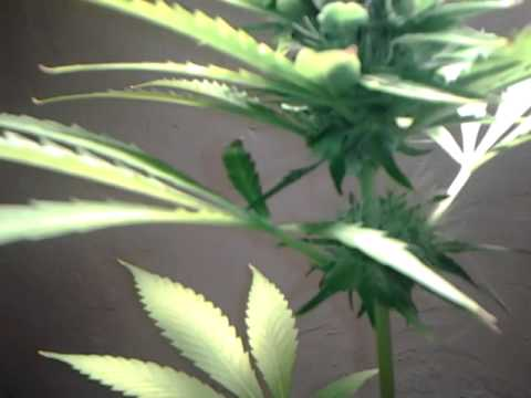 Mids weed plant