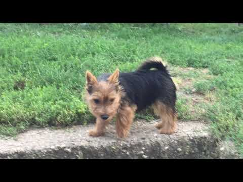 Norwich Terrier male for sale Euro Puppy