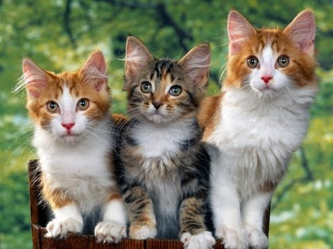 "All Cat Breeds List Part One ""1"" Alphabetical A - G HD"