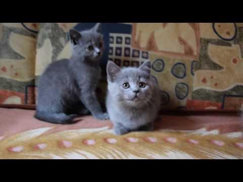 Скоттиш страйт (шотландские прямоухие котята) 2 месяца