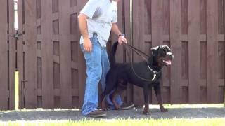 Police K-9 Prospect Rottweiler (edited Version)