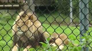 Львы имитируют оргазм - Lions imitate orgasm