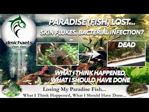 Skin Flukes? Bacterial Infection?  Losing My Paradise Fish: What I Think Happened & Should Have Done