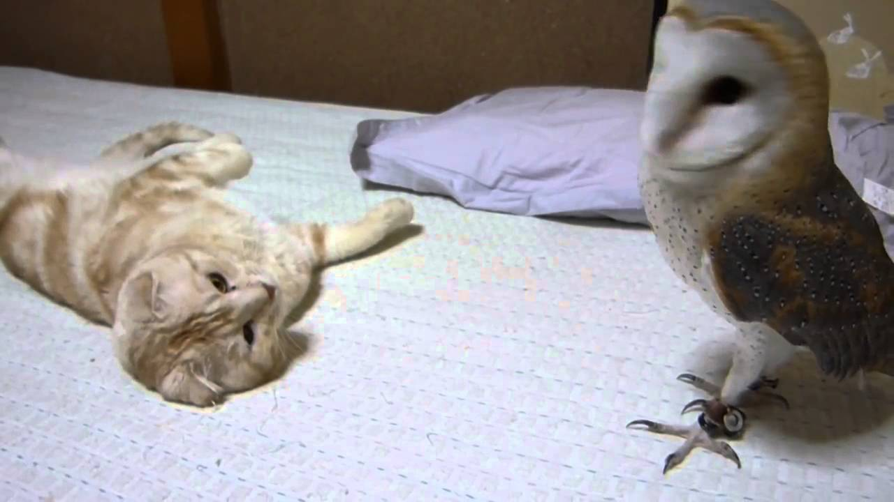 Barn owl and cat, real CUTE - YouTube