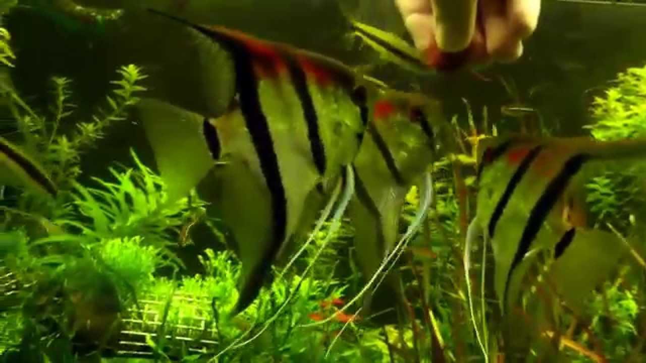 Killer skalare fressen aus der hand laichen for Skalar aquarium