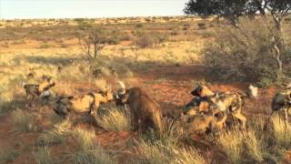 Wild dogs vs Warthog (Not for sensitive viewers)