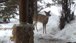White Tail Deer And Ringneck Pheasant At My Feeder Webster, Minnesota 55088