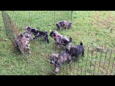 Mystic's standard schnoodles playing in yard 9-12-18