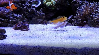 Watchman Goby Spotlight (including Fight Sequence)