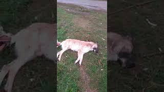 Жестокое убийство собак живодёрами в г.Наб.Челны