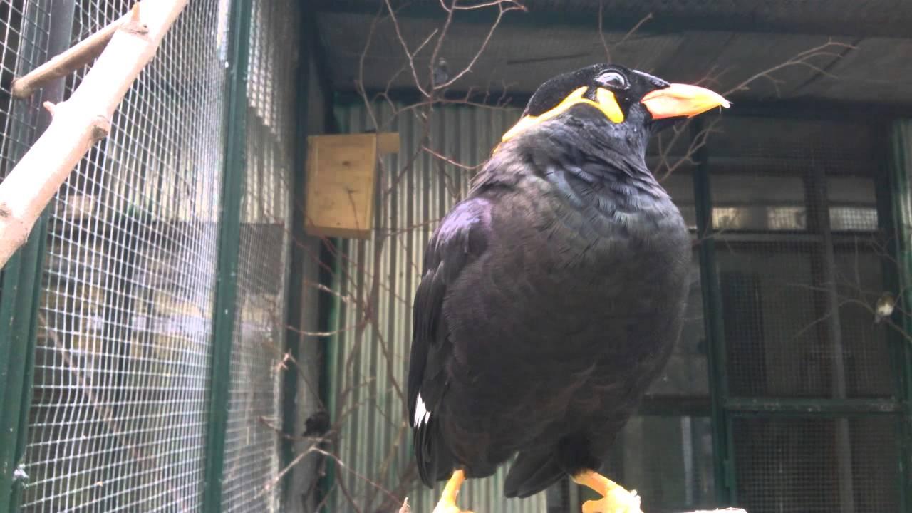 Скачать видео про птицу священная майна фото 93-367