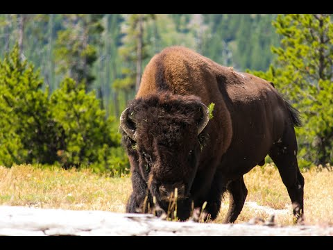 Yellowstone Bison on the run