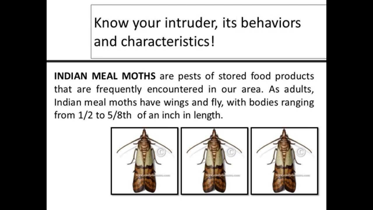 Fly Control, How To Get Rid Of Indian Meal Moth   YouTube