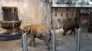 Три Азиатский (Индийский) слона - всё семейство