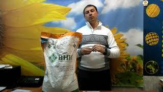 Купити насіння соняшнику СОНЯЧНИЙ НАСТРИЙ під гербіцід Гранстар. Соняшник стійкий до Експресу.