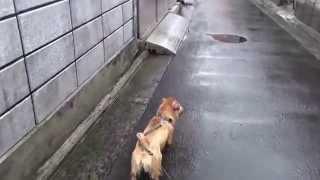 トタンに落ちる雨音でビクビクするビビリ犬。 そのせい?モヒカンになっ...