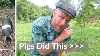 how-i-got-my-pigs-to-plant-grass-in-the-forest