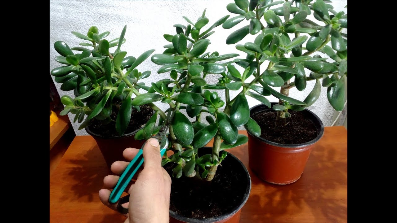 How to Prune a Jade Plant