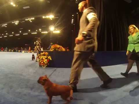 The National Dog Show (2016) - Toy Dogs Preview