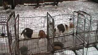 Русская пегая гончая, Доставим! 24 Января 2011