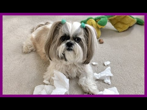 Lacey makes a mess 😮| Zoomies 💨| Silly Shih Tzu dog 🐾