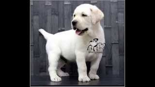 Labrador Retriever Puppies Sold At Sangfroid Kennel