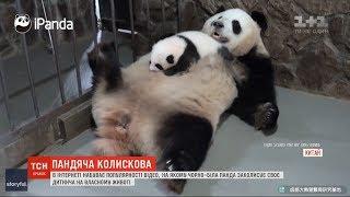 Інтернет-користувачів підкорило відео, на якому панда-мама заколисує своє дитинча