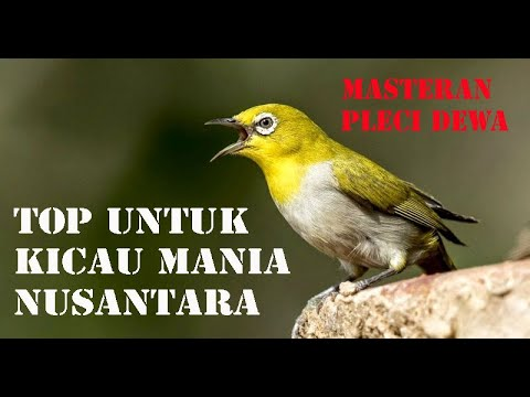Masteran Pleci Dewa Cocok Untuk Burung Kicau Juara