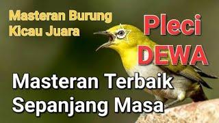 Master Pleci dewa suara jernih dan keras cocok untuk isian burung kicau Mp3