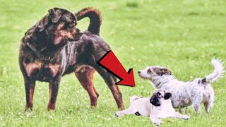 Badly Trained Rottweiler Attacks a Pug!!