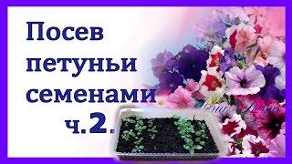 Петуния . Выращивание рассады петунии и катарантуса из семян. Часть 2 .