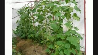 видео Умный виноградник. Укоренение без проблем