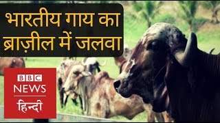 How Indian Cows are changing Fortunes in Brazil (BBC Hindi)