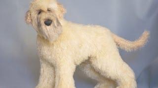 О породе собак - Ирландский мягкошерстный пшеничный терьер