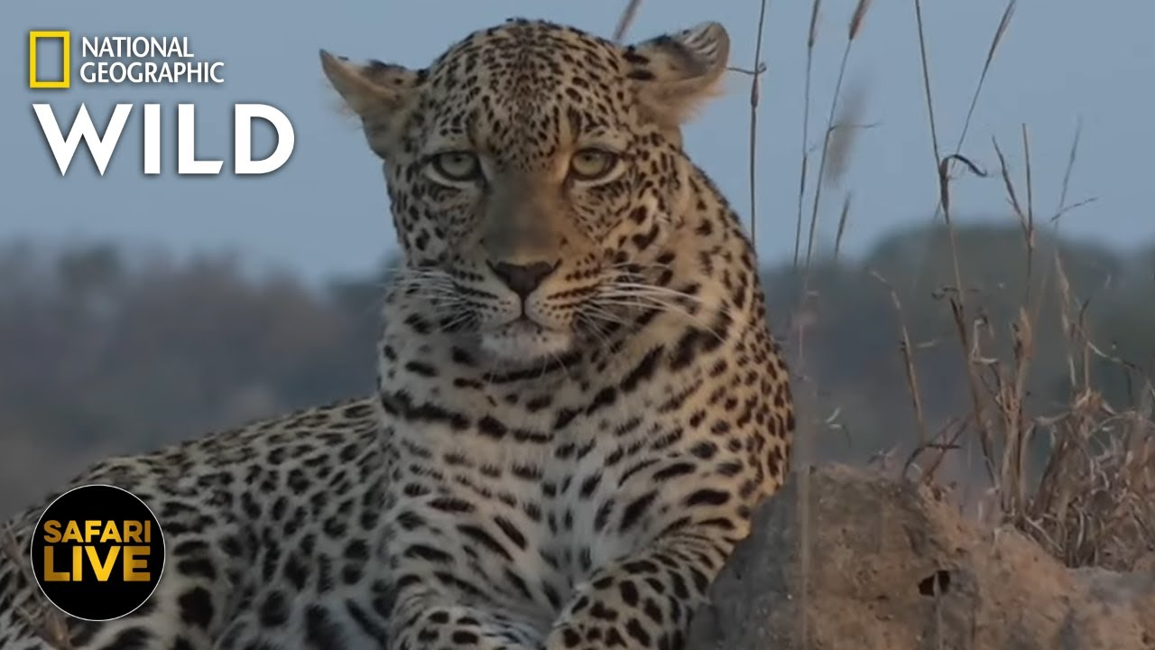 Safari Live - Day 355 | Nat Geo Wild