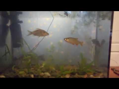 Жизнь речных рыб в аквариуме. Караси, плотва.