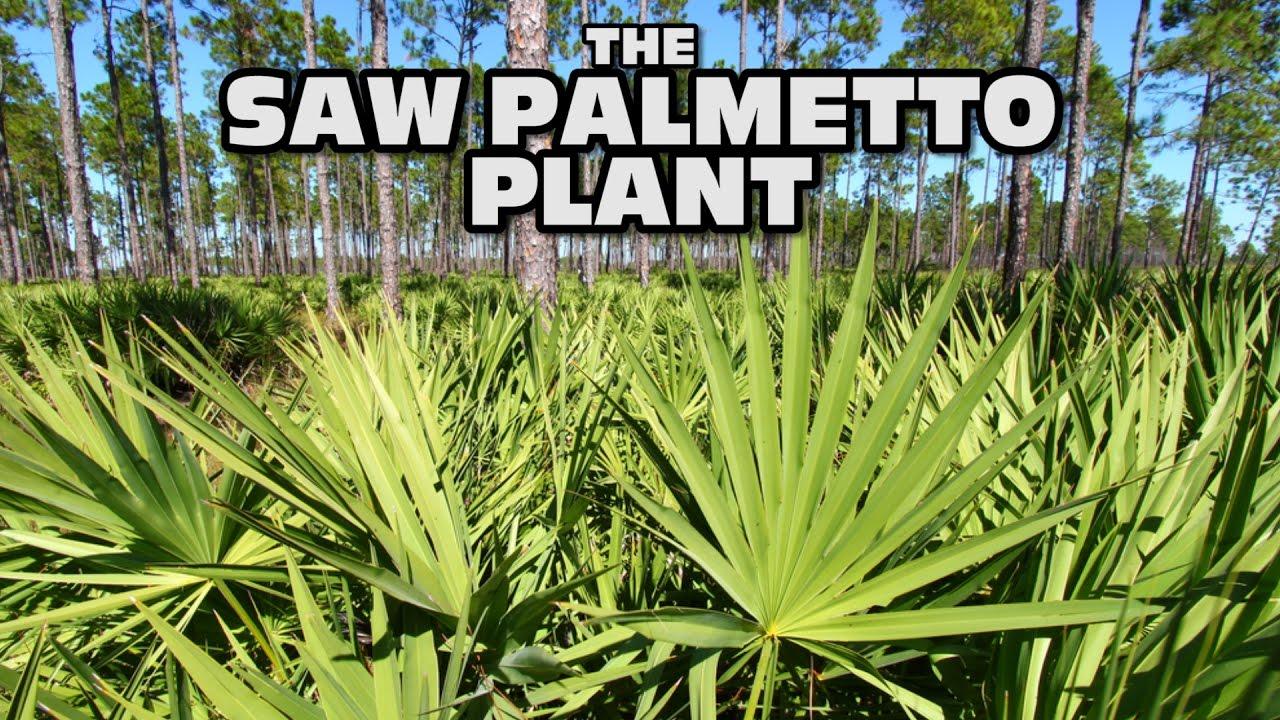 saw palmetto plant ripe fruit used for medicine health benefits