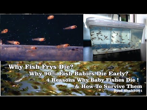 Why Fish Fry's Die & How To Save Them! 4 Reason Why Baby Fishes Die