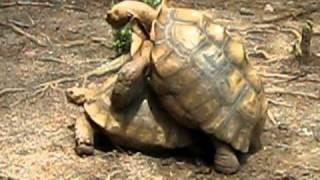 Tortoise Porn