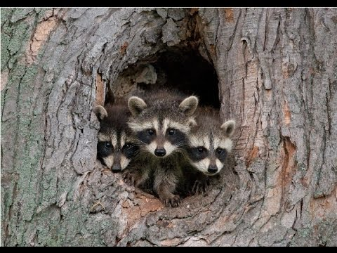Amazing Facts About Raccoons