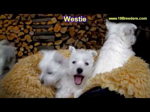 West Highland White Terrier, Westie, Puppies, Dogs, For Sale, In Anchorage, Alaska, AK, 19Breeders