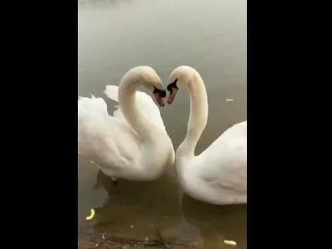 This swan dance is mesmerizing