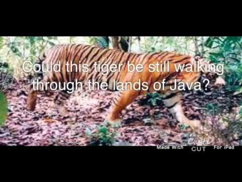 Javan tigers was declared extinct but there were sightings in 2000s. Could they still be in Java?