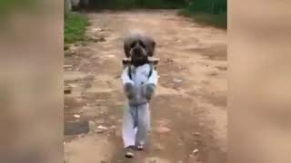 Маленькая собачка чихуахуа танцует