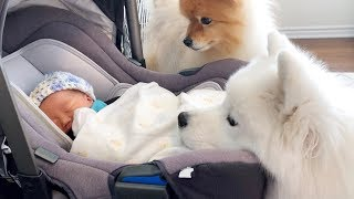 my dogs meet baby sister for the first time