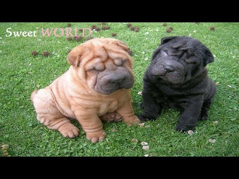 Chubby Puppies Playing - Cute Shar Pei Puppies